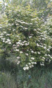 Gilaburu Ağaçları Çiçek Açtı