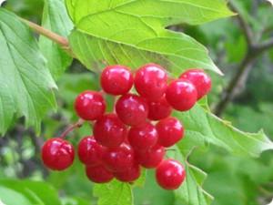 Gilaburu bitkisi nedir
